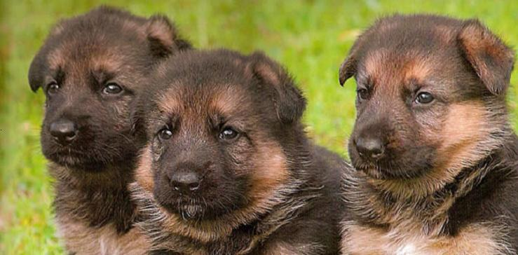 File German shepherd puppy
