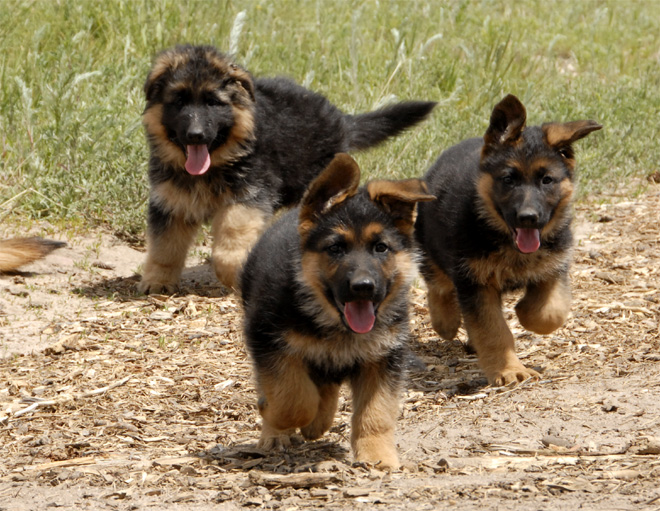 German Shepherd Puppies German